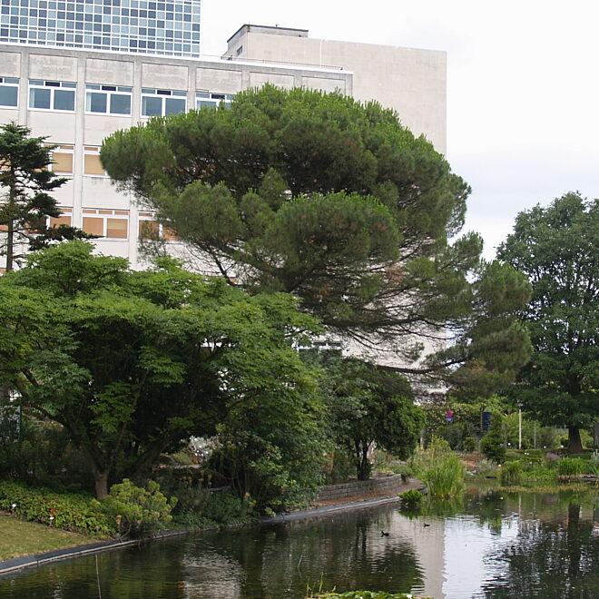 Pinus pinea JVM Groot